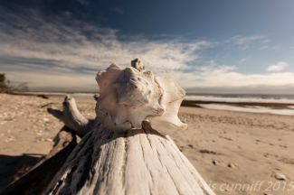 Botany Bay shell